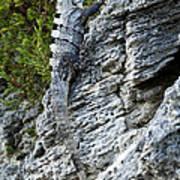 Iguana En La Roca Art Print