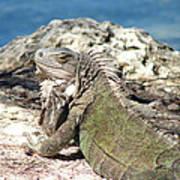 Iguana In The Sun Art Print