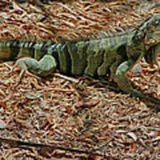 Iguana With A Smile Art Print