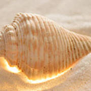 Illumination Series Sea Shells 8 Art Print