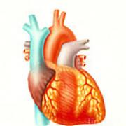 Illustration Of The Human Heart Art Print