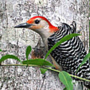 I'm So Handsome - Red Bellied Woodpecker Art Print