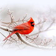 Img_2559-8 - Northern Cardinal Art Print