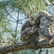 Immature Great Horned Owls Art Print