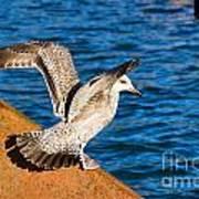 Immature Herring Gull At The Harbour Art Print