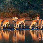 Impala Herd With Reflections In Water Art Print