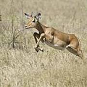 Impala Leaping Through Savanna Art Print