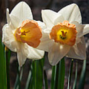 In Conversation - A Couple Of Daffodils Huddled Together Art Print