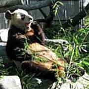In Need Of More Sleep. Er Shun Giant Panda Series. Toronto Zoo Art Print