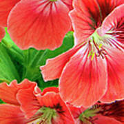 In The Garden. Geranium Art Print
