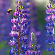 In The Land Of Lupine Print by Mary Amerman