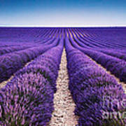 In The Lavender Art Print