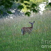 White-tailed Deer In Meadow  Art Print