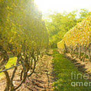 In The Vineyard Print by Diane Diederich