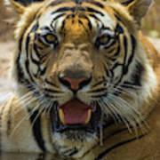 India Male Bengal Tiger (pantera Tigris Art Print