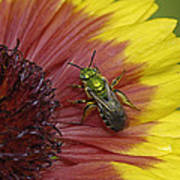 Indian Blanket And Bee Art Print