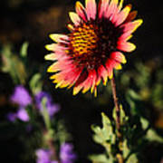 Indian Blanket Art Print by Thomas Pettengill