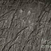 Indian Grass In The Wind Art Print