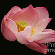 Indian Lotus On Black --- Sacred Light Art Print