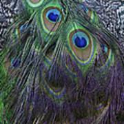 Indian Peacock Art Print