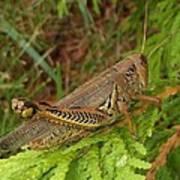Indiana Grasshopper Art Print