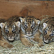 Indochinese Tiger Cubs In Sleeping Box Art Print