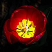 Inside A Tulip Art Print