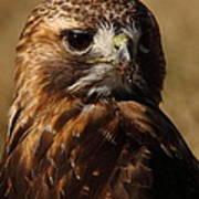 Red Tailed Hawk Portrait Art Print