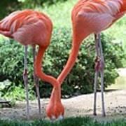 Intertwined Flamingoes Art Print
