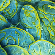 Intestinal Microvilli Sem Art Print by Spl