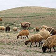 Iran Sheep Art Print