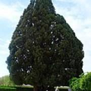 Iran Yazd Cedar Tree Art Print