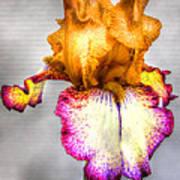 Iris #17 Art Print