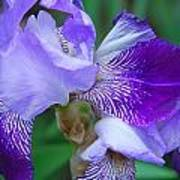 Iris 30 Art Print