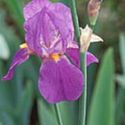 Iris 6 Art Print