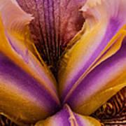 Iris And Gold Dust Art Print
