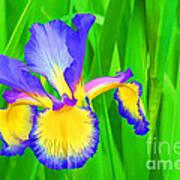 Iris Blossom Art Print