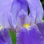 Iris Close Up 1 Art Print