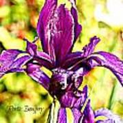 Iris Art Print by Debbie Sikes