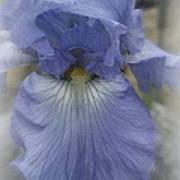 Iris Heart Art Print