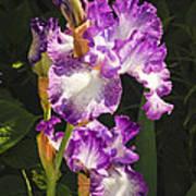 Iris In June Art Print
