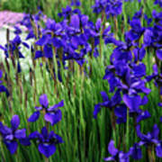 Iris In The Field Art Print