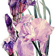 Watercolor Of An Elegant Tall Bearded Iris In Pink And Purple I Call Iris Joan Sutherland Art Print