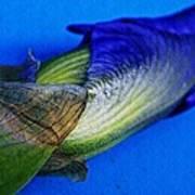 Iris On Blue Art Print