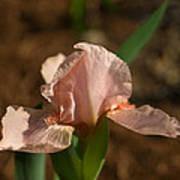Iris Peach Rose 1 Art Print