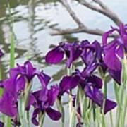 Iris Purple Lavender Art Print
