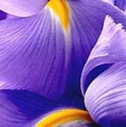 Iris Vi Art Print