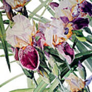 Watercolor Of Tall Bearded Irises I Call Iris Vivaldi Spring Art Print