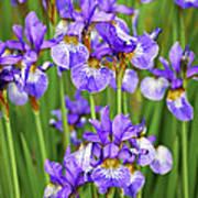 Irises Art Print by Elena Elisseeva