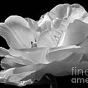 Isolated White Tulip Art Print